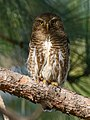 Asian Barred Owlet (Glaucidium cuculoides) (40769712413).jpg