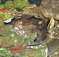 Asian Box Turtle Image 001.jpg