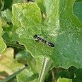 Asian ant mantis. Odontomantis planiceps. (12382822684).jpg