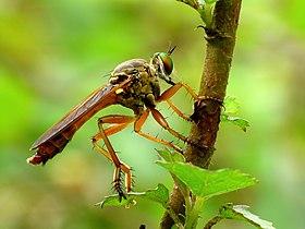 Asilidae by kadavoor.jpg