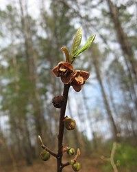Asimina parviflora.jpg