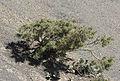 Astragalus - Geven 02.jpg