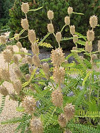 Astragalus centralpinus