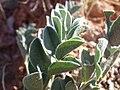 Astragalus oreganus (7161227559).jpg