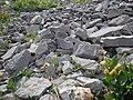 Astragalus shultziorum (29204320235).jpg