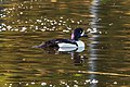 At Isobel lake…male Barrow's Goldeneye (8728259168).jpg