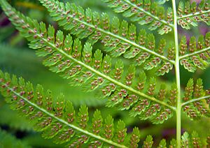 Athyrium filix-femina - Leaflets and sori