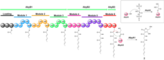 Atrop-abyssomicin C - Biosynthesis of linear polyketide precursor. The AbyB1, AbyB2, and AbyB3 genes code for the seven-module polyketide synthase complex that assembled the polyketide backbone. Next, the linear polyketide precursor fused with glyceryl-ACP to form intermediate 2.