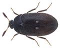 Attagenus pellio (Linné, 1758) (27683819884).png