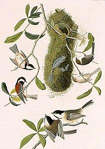 Audubon-Paridae