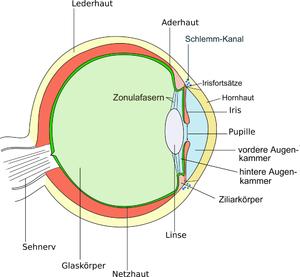 Aufbau des Säugetierauges; Schnittbild, von oben betrachetetes linke Auge