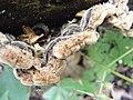 Auricularia mesenterica 98.jpg