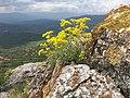 Aurinia saxatilis 5.jpg