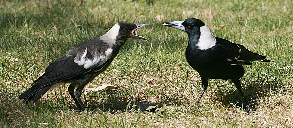 Australian Magpie feeding