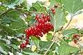 Autumn berries (265928588).jpg