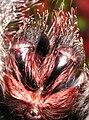 Avicularia Metallica Fangs.jpg