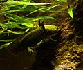 Axolotl Ambystoma mexicanum Aquarium Liège 30012016 1.jpg