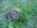 Baby rabbit in grass.png