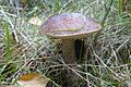 Bagno Chlebowo, fungi (1).JPG