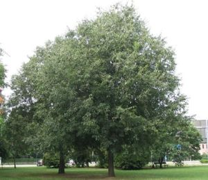 Europäischer Zürgelbaum (Celtis australis)