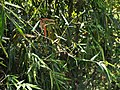 Bambus blumean 160603-59102 ponr.JPG