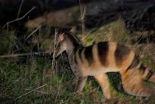 Banded Palm Civet.png