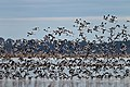 Banded Stilts and Red-necked Avocets (24496599185).jpg