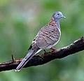 Bar-shouldered dove 14272.jpg