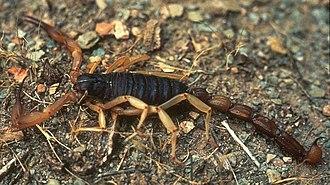 Bark Scorpion.jpg