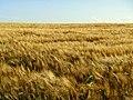 Barley - Flickr - Stiller Beobachter.jpg