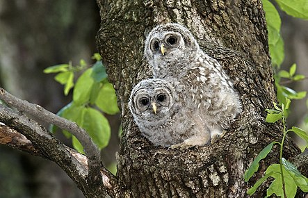 Barred-owl-chick-17b.jpg