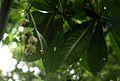 Barringtonia racemosa00a.jpg