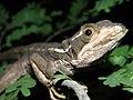 Basiliscus vittatus (4173378138).jpg