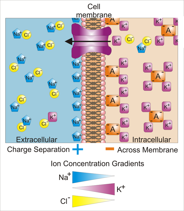 Differences in the concentrations of ions on opposite sides of a cellular membrane lead to a voltage called the membrane potential. Typical values of membrane potential are in the range -40 mV to -70 mV. Many ions have a concentration gradient across the membrane, including potassium (K ), which is at a high concentration inside and a low concentration outside the membrane. Sodium (Na ) and chloride (Cl ) ions are at high concentrations in the extracellular region, and low concentrations in the intracellular regions. These concentration gradients provide the potential energy to drive the formation of the membrane potential. This voltage is established when the membrane has permeability to one or more ions. In the simplest case, illustrated here, if the membrane is selectively permeable to potassium, these positively charged ions can diffuse down the concentration gradient to the outside of the cell, leaving behind uncompensated negative charges. This separation of charges is what causes the membrane potential. Note that the system as a whole is electro-neutral. The uncompensated positive charges outside the cell, and the uncompensated negative charges inside the cell, physically line up on the membrane surface and attract each other across the lipid bilayer. Thus, the membrane potential is physically located only in the immediate vicinity of the membrane. It is the separation of these charges across the membrane that is the basis of the membrane voltage. Note also that this diagram is only an approximation of the ionic contributions to the membrane potential. Other ions including sodium, chloride, calcium, and others play a more minor role, even though they have strong concentration gradients, because they have more limited permeability than potassium. Key: Blue pentagons - sodium ions; Purple squares - potassium ions; Yellow circles - chloride ions; Orange rectangles - membrane-impermeable anions (these arise from a variety of sources including proteins). The large purple structure with an arrow represents a transmembrane potassium channel and the direction of net potassium movement. Basis of Membrane Potential2.png