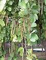 Bauhinia mastopoda fruits.JPG