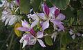 Bauhinia variegata 01354.jpg