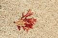 Beach closeups Mull, 2014 (13917484562).jpg