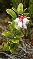Bearberry (Arctostaphylos uva-ursi) - geograph.org.uk - 846253.jpg