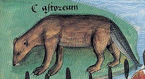 Medieval cuisine - During the Middle Ages it was believed that beaver tails were of such a fish-like nature that they could be eaten on fast days; Livre des simples médecines, ca. 1480.