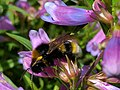 Bee feeding on Penstemon flowers (1).jpg
