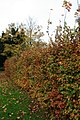 Beech Hedge in Autumn - geograph.org.uk - 1039356.jpg