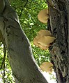 Beech and fungi - geograph.org.uk - 228468.jpg