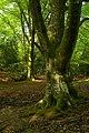 Beech trees next to Coalmeer Gutter, New Forest - geograph.org.uk - 805022.jpg