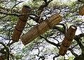 Beehives in Ethiopia.jpg
