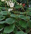 Begonia acida Blätter.jpg