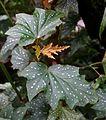 Begonia aconitifolia - Botanischer Garten - Heidelberg, Germany - DSC00984.jpg