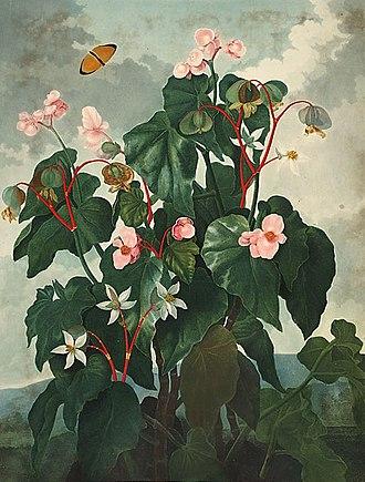 Begonia - Begonia obliqua