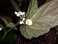 Begonia taiwaniana - 台湾秋海棠 by 石川 Shihchuan - 002.jpg