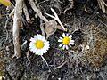 Bellis perennis Matricaria chamomilla.jpg