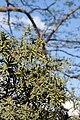 Berberis gagnepainii - floraison.jpg